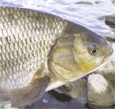 Елец рыба.
